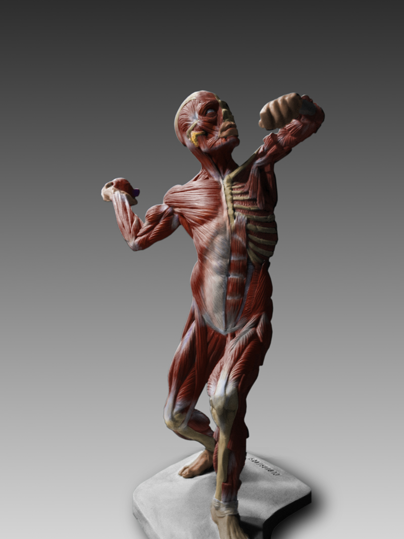 $147.99 Human Anatomy : Ecorche Male Model