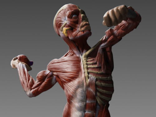14799 Human Anatomy Ecorche Male Model